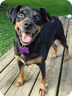 Fairmont, WV - Miniature Pinscher Mix. Meet Ruby, a dog for adoption. http://www.adoptapet.com/pet/12988329-fairmont-west-virginia-miniature-pinscher-mix