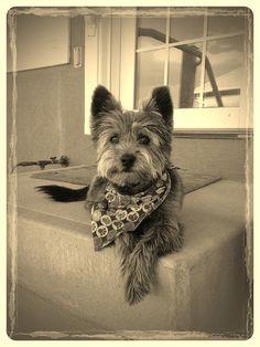 #CairnTerrier Finn. Hes got Moxie! | Flickr - Photo Sharing!