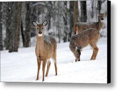 Whispering Winter White Tail Canvas Print / Canvas Art By Christina Rollo
