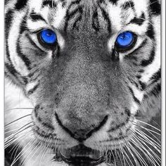 tiger / black and white photography with a touch of color ROAR! Splash Photography, Black And White Photography, Animal Photography, Color Splash, Color Pop, Color Blue, Black And White Pictures, Black And White Colour, Beautiful Cats
