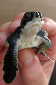 Turns out, Sea Turtles WILL bite you on the nose if you hold them up close to your face...  Just FYI. ~ Houston Foodlovers