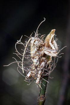 Carolina Leaf-Roller Cricket infected by Cordyceps fungus.