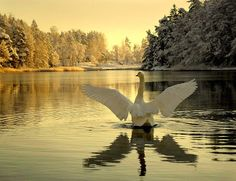 a swan on the lake in - photo by Visit Finland Kinds Of Birds, Spirit Animal, Beautiful Creatures, Animal Photography, Pet Birds, Animals And Pets, Scenery, Wildlife, Japan