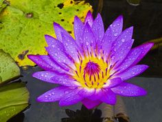 I want a water lily tattooed for each of my girls. Both july babys