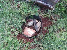 pé de maracujá do meu quintal