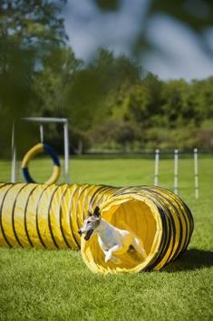 When teaching your dog to go through a tunnel, you want him to enter the tunnel without hesitating and quickly drive through the tunnel. Make the tunnel a fun and rewarding obstacle for your dog using positive reinforcement, and he will enjoy and master this obstacle. Your dog must know how to maneuver through both straight and curved tunnels if you plan on entering agility trials. Most agility courses include one or two tunnels, while the Tunnelers Class competition consists only of…