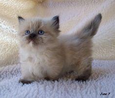 Short Legged Munchkin Kittens For Sale Simpang free