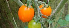 Sun Drop – Tomat
