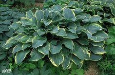2003: Hosta 'Regal Splendor' Shady Oaks Nursery American Hosta Growers Hosta of the Year Award Winners