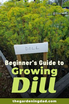Learn How to Easily Grow the herb, Dill indoors and in your garden with these beginner tips, tricks, and ideas! There is something for everyone in this beginner's guide to Growing Dill!  #dill #herbs #garden Gardening For Beginners, Gardening Tips, How To Grow Dill, Birthday Survival Kit, Hanging Herbs, Hanging Planters, Organic Gardening, Vegetable Gardening, Indoor Gardening