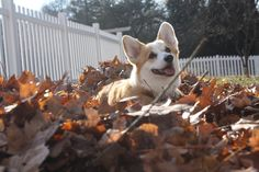 This adorable dog is really happy with her no-dig fenced in yard! #corgi #happydog #vinylfence
