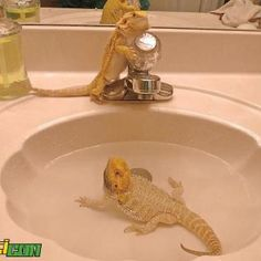 Whenever I give my beardies a bath, they look at me with disapointment. As if I put them there purposly to annoy them because they need to be soaked daily.