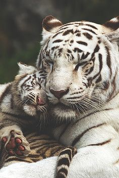 Mother & Baby Tigers