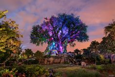 https://flic.kr/p/R8yzjD | The Tree of Light | Today's photo tour sends us to the Animal Kingdom for a shot of the Tree of Life right before the trees awakening. This was the first time that I was able to get some really cool shots of the tree as the sun was going down because they always closed early before. While the lighting is a little harsh on the tree, I still like the way the photo came out. What do you think? Have a magical day!  Visit Disney Photo Tour on Facebook and Instagram