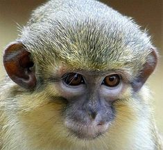 talapoin monkey, small yellow Central African monkey