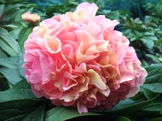 #Peony 'Lois Choice' - Order Bare-root € 120,00 or 3 for € 105,00 euro @ www.peonyshop.com