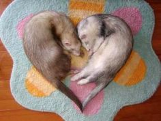 Amazing Fact: If a female ferret goes into heat but can't get any sex, she will die