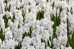 Netherlands Travel Information White Orchids, White Flowers, White Hyacinth, Spring Bulbs, Spring Sign, Garden Care, Daffodils, Free Stock Photos, Netherlands