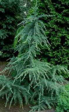 15 Types of Evergreens for Landscaping | The Home Depot Community