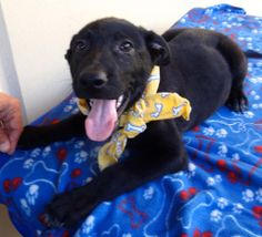 Well hi there! My name is Seahorse and I am an adorable 4 month old Lab mix puppy. I am totally into cuddling and playing and sloppy kisses. Maybe you can take me home with you and let me be one of the family? All I need is little basic training... I got all the other stuff down pat! Whatcha say?  Animal #: 474851 Name: Seahorse Sex: Female Age: Approx 4 Months Breed: Lab Mix Color: Black