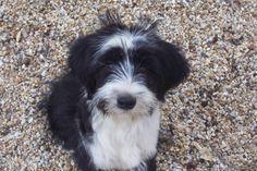 Our Dogs - Photo Gallery Album Photo 6 Tibetan Terrier, Dog Photos, Terriers, Puppy Love, Cute Puppies, Fur Babies, Photo Galleries, Dog Cat, Cute Animals