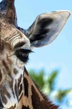 earth-song:    Got close enough to this giraffe to see the reflection of the truck in its eye. San Diego Zoo Safari Park.   by Ted Ganiats
