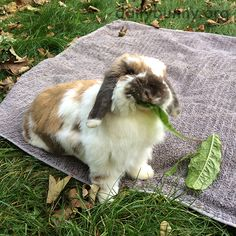 Bunny enjoys a tasty green on a picnic with human - January 19, 2016