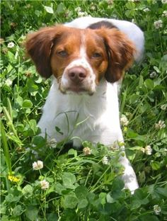 63 Best French Brittany Dog Images American Brittany Brittany