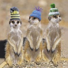 Meerkats in Hats Greeting Card. A funny blank colour greeting card suitable for any occasion including birthdays. From a range of contemporary photographic greeting cards published by Icon.