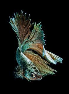 Impresionantes retratos del pez beta que muestran su exótica belleza