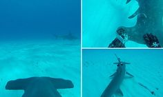 Camera fitted to a hammerhead shows deadly shark stalking its prey #DailyMail | You can also see this & more at: http://twodaysnewstand.weebly.com/mail-onlinecom
