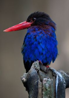 Blue Kingfisher Bird / avianweb.com