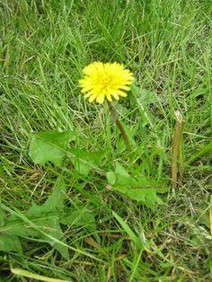 mniszek kwiat tabela Taraxacum Officinale, Herbs, Plants, Education, Diet, Herb, Plant, Onderwijs, Learning