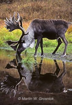HELP PROTECT CARIBOU FROM TAR SANDS DESTRUCTION! Urge Secretary Kerry to say no to the Keystone XL tar sands oil pipeline! The pipeline will devastate crucial habitat for woodland caribou and other wildlife! The survival of thousands of woodland caribou in Alberta, Canada is at stake! PLZ Sign & Share!