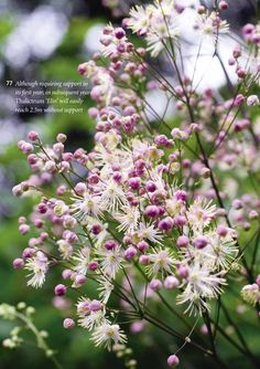 Thalictrum 'Elin' Airy sprays of lavender and cream, late summer flowers decorate border filling clumps of fern-like, grey-green foliage. Outdoor Plants, Outdoor Gardens, Sunflower House, Late Summer Flowers, Perennial Bulbs, Mediterranean Plants, Prairie Garden, Garden Solutions, Border Plants