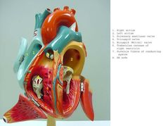 heart_open_DG_label .jpg (720×548)