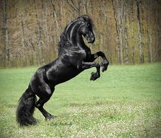 Sleek black horse rearing up All The Pretty Horses, Beautiful Horses, Animals Beautiful, Horse Rearing, Friesian Horse, Andalusian Horse, Arabian Horses, Black Horses, Wild Horses