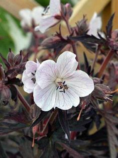 "White flowers with delicate… Cranesbill (perennial geranium) ""Purple Ghost"". White flowers with delicate purple rays against purple-bronzed foliage. Perennial Geranium, Cranesbill Geranium, Hardy Geranium, Geranium Flower, Rare Flowers, White Flowers, Buy Flowers, Small Flowers, Geranium Pratense"