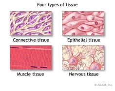 four types of tissue - picture of Four types of Tissue (CC Cycle 3 Week 1)