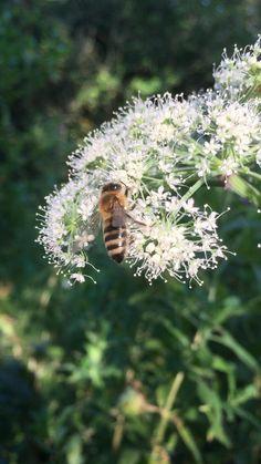 #honeybee #hogweed #whiteflowers #mothernature #nature #naturephoto #naturevideo #insects #pollinators