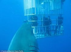 Need a bigger cage? A new video has been released showing what is believed to be the largest great white shark on film. 20 ft long...
