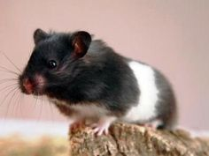 1000 images about adorable animals on pinterest - Hamster russe panda ...
