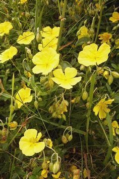 Helianthemum nummularium – Common Rock-rose   Wild Flowers   Species   Emorsgate…