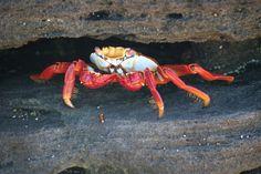 Super Krabbe, Bild der Woche