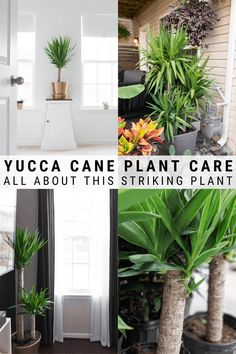 Learn all about how to care for a yucca plant, including tips for indoor and outdoor yucca care, as well as how to propagate this beautiful plant! Yucca Plant Indoor, Yucca Plant Care, Indoor Plants, Indoor Gardening, Air Plants, Small Front Yard Landscaping, Backyard Landscaping, Backyard Plants, Planting Succulents
