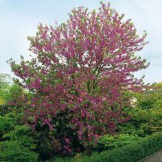prunus fruticosa 39 globosa 39 prunus eminens 39 umbraculifera. Black Bedroom Furniture Sets. Home Design Ideas