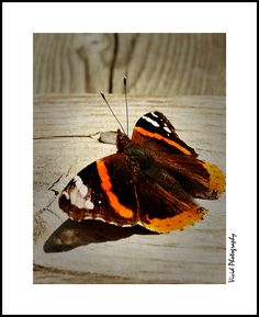 Extroverted Butterfly