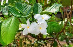 Garden, Plumeria, Pudica, White, Yellow Centre #garden, #plumeria, #pudica, #white, #yellowcentre