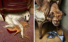 Dogs eating expensive shoes. Photographed by Peter Lippmann. #borzoi