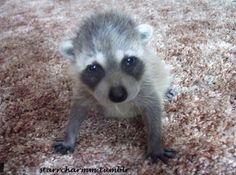 Raccoon its so cute!